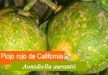 1. Piojo rojo de California