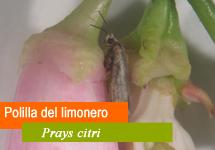 Polilla del limonero