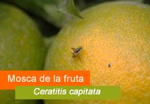 Aviso Ceratitis capitata