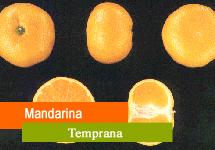 Mandarina temprana