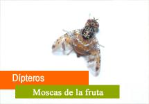 Dípteros / Moscas de la fruta