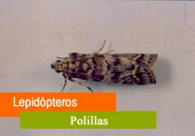 Lepidópteros (Minador, barrenetas,...)
