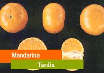 Mandarina tardía