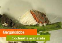 Margaródidos (Cochinilla acanalada)