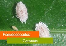 Pseudocóccidos ( Cotonet, melazo,..)