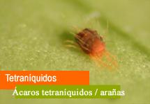 Tetraníquidos (Araña rojo, ácaro rojo,...)