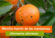 Mancha marrón de las mandarinas