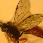 Detalle de las alas de Hyposoter. Foto de A. Urbaneja.