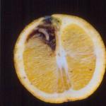 Larva en interior de naranja