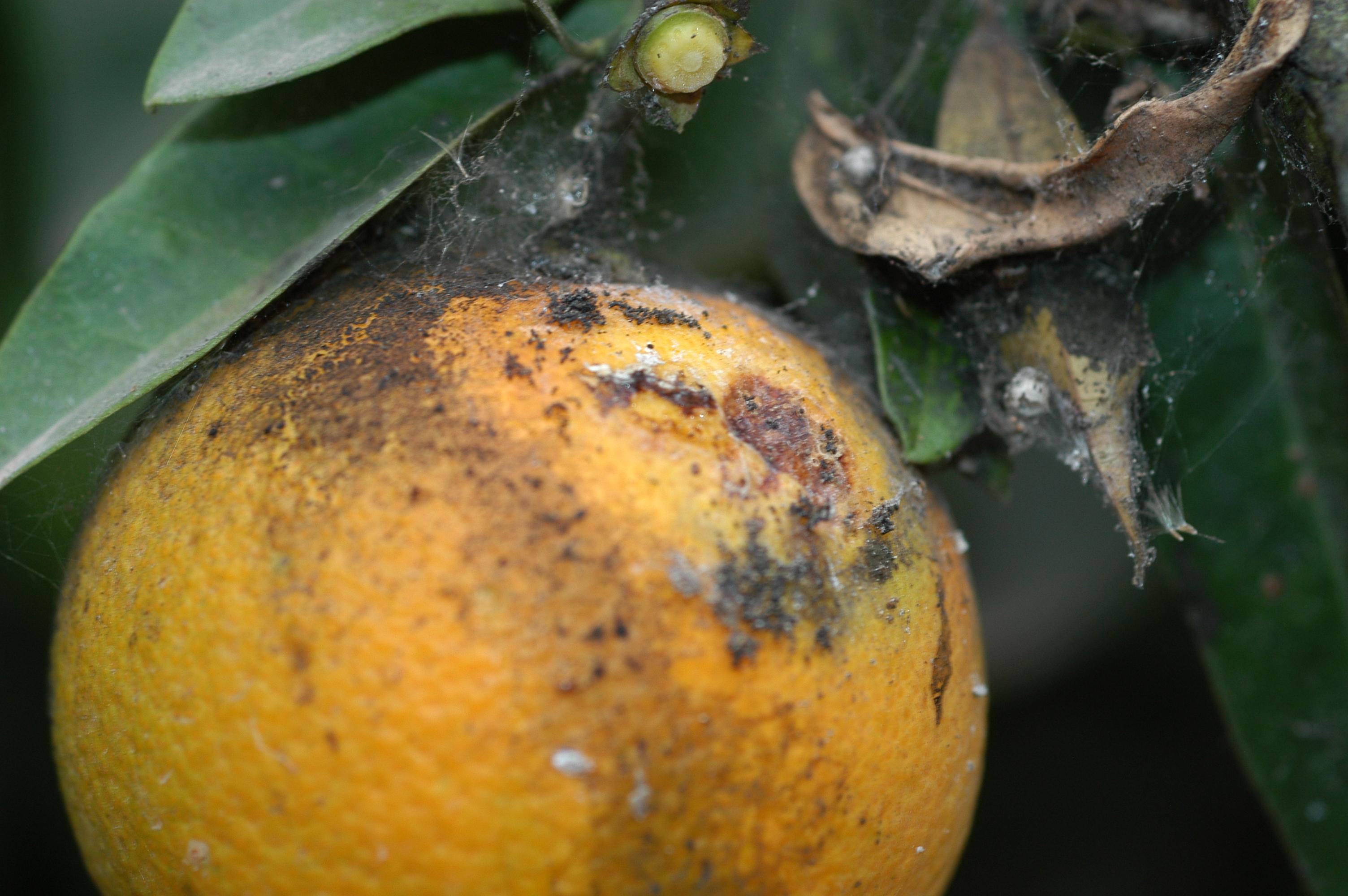 Barrenetas gip c tricos ivia for Enfermedades citricos fotos