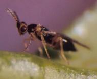 Vista de perfil de C. brevis