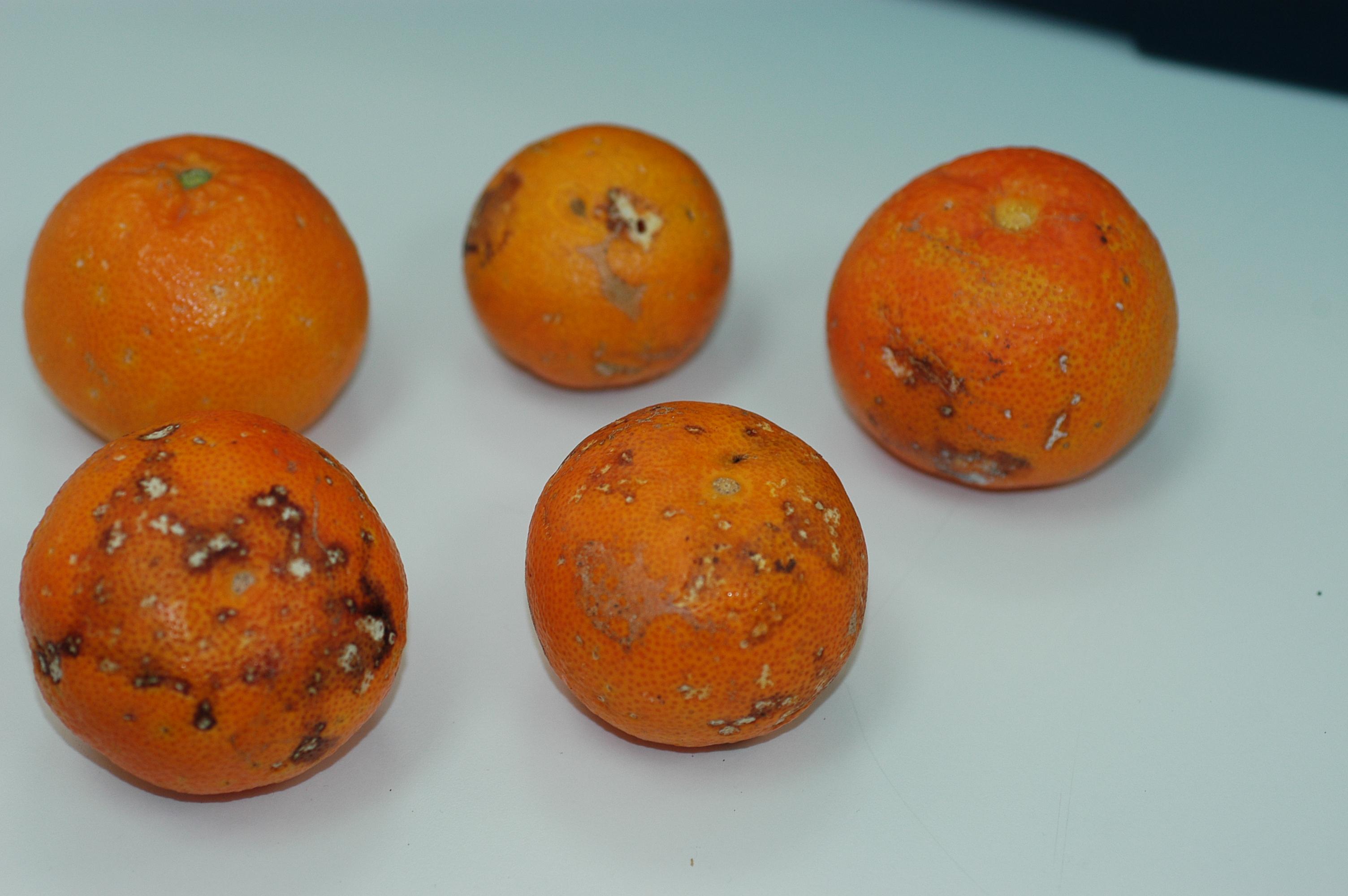 Fig. 3. Daños en fruto producidos por caracoles.