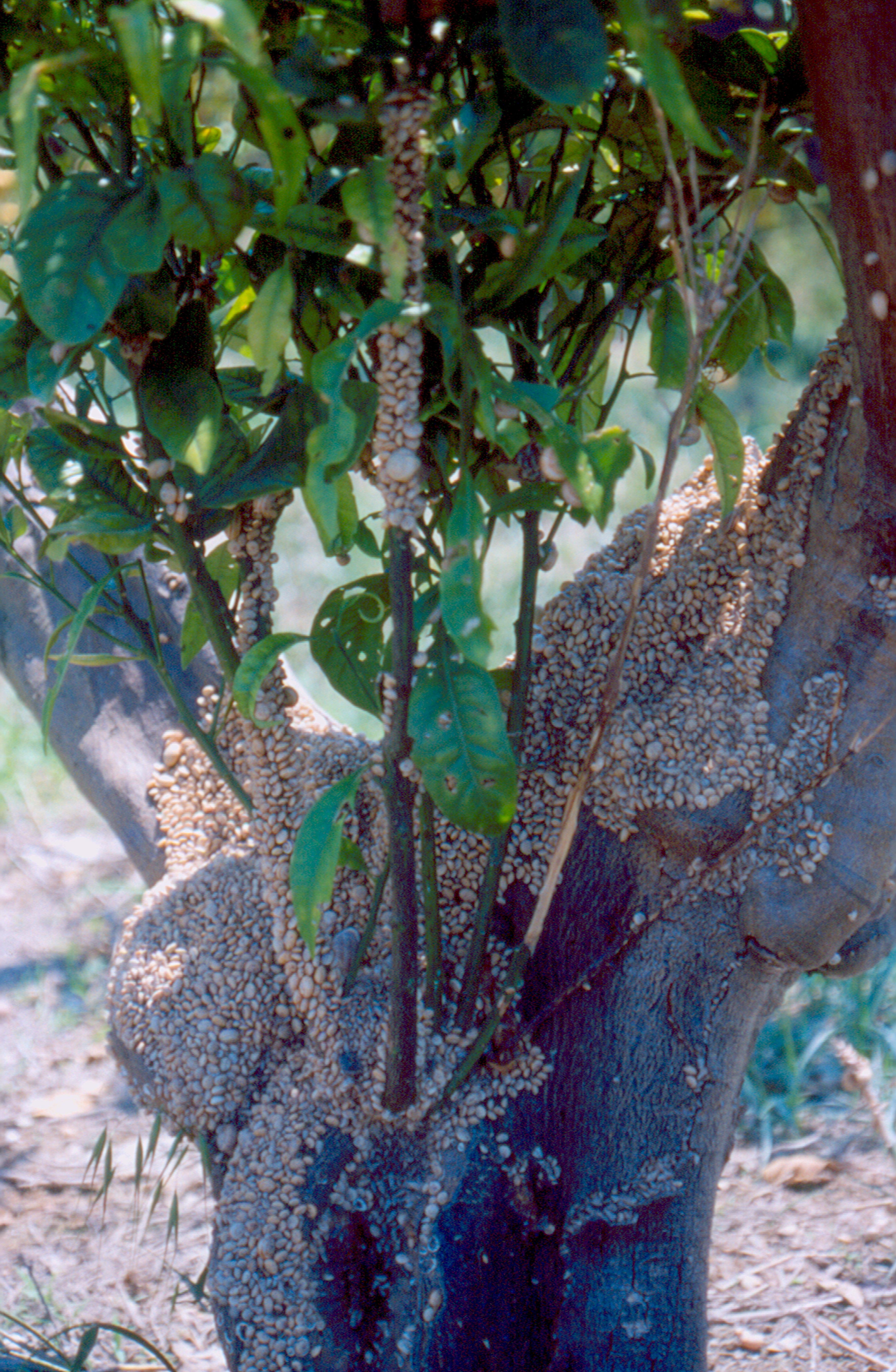 Fig. 2. Caracoles alimentándose de brotes tiernos.