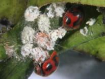 Adultos de Rodolia cardinalis alimentándose de cochinilla. Foto de J. Catalán