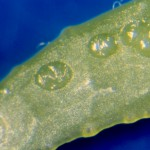Huevos sobre hoja de clementino de P. citrella