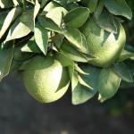 Daño de P. citri en hojas y fruto