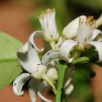 Flores con presencia de P. kellyanus