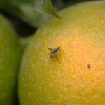 Adulto de C. capitata sobre fruta
