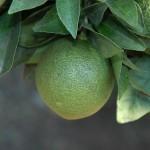 Detalle de la decoloración producida por P. citri en fruto
