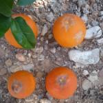 Daños en fruta madura producidos por P. kellyanus