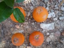 Danyos en fruta madura producidos por P. kellyanus