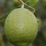 Daño en fruto