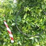 Aro utilizado para el muestreo de pulgon