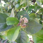 Detalle de los daños producidos por P. citri en brote floral