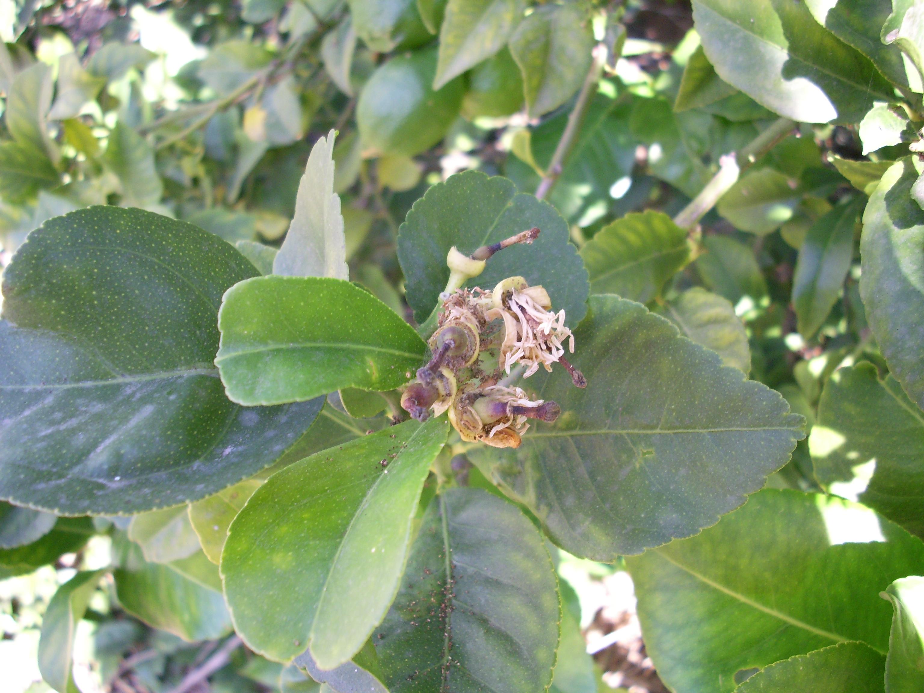 Polilla del limonero gip c tricos ivia for Enfermedades citricos fotos