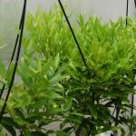 Daño producido en hojas