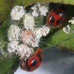 Adulto de R. cardinalis
