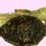 Fig. 3. M. lounsburyi sobre hembra