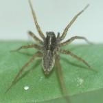 La araña Pardosa cribata