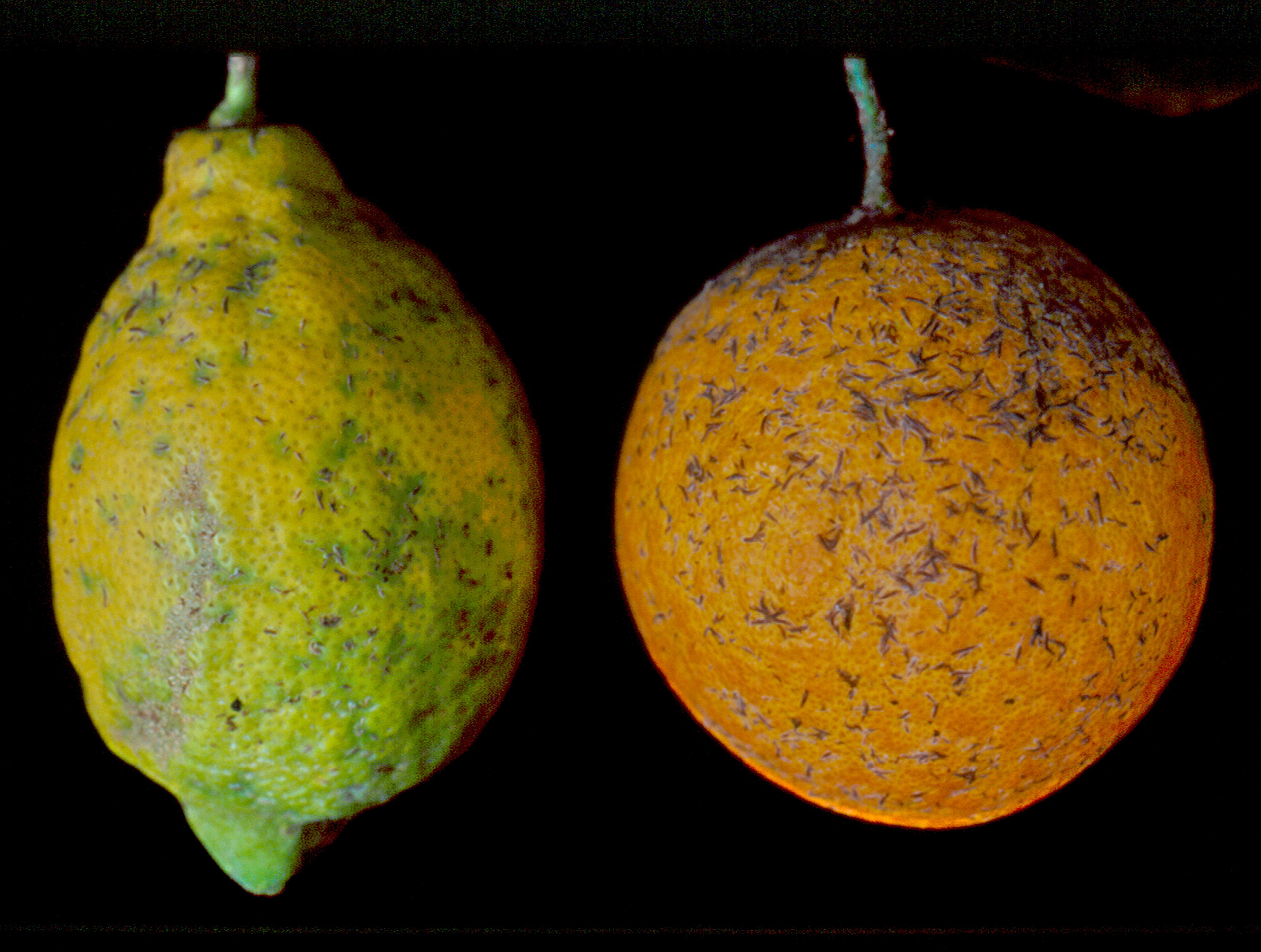 Fig. 2. Ataque de serpeta fina a los frutos.