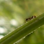 Fig. 3. Obrera de la hormiga argentina