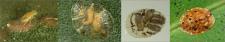 Diferentes estadios de M. flavus