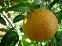 Larva de Semidalis aleyrodiformis sobre naranja