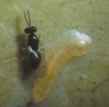 P. pectinicornis parasitando minador