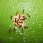 Fig. 1. Ninfas de cotonet cuidadas por hormigas.