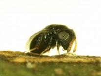Adulto de S. caeruela