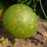 Figura 2.- Daños en naranja conocidos como roseta.