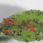Larvas de Aphidoletes alimentándose en colonia de pulgones. Foto J. Catalán.