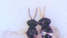 Detalle de la cabeza del macho y de la hembra de C. phyllocnistoides