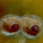 Hemiberlesia rapax