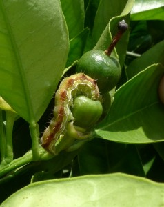 Larva de H. armigera. Foto A. Tena