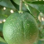 Naranja con escudos de Aonidiella aurantii