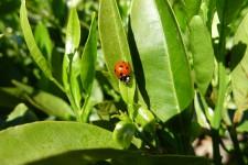 Coccinella septmpunctata. Foto J. Catalán