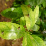 Actualización campaña mosca de la fruta (Ceratitis capitata) 2015