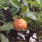 Figura 1.- Fruto de mandarina con síntomas de aguado en campo.