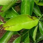 Figura 5.- Síntomas foliares típicos de mancha marrón